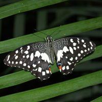 Product Butterfly - Papilio demoleus