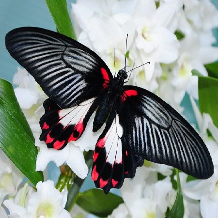 Product Butterfly Papilio rumanzovia