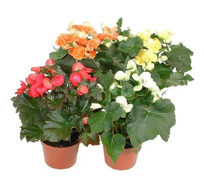 Product Begonia