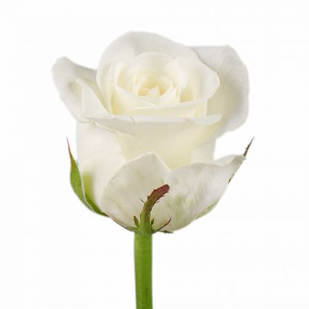 Bouquet Rose Beluga by piece